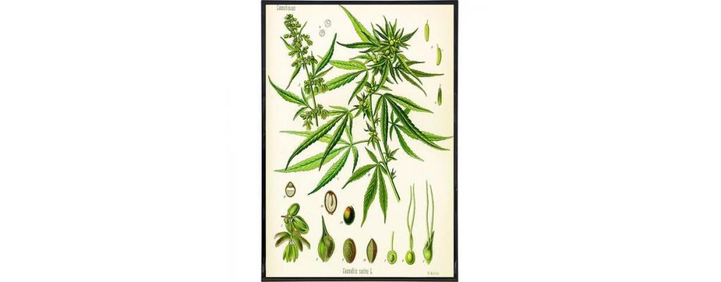 Cannabis: What is it?